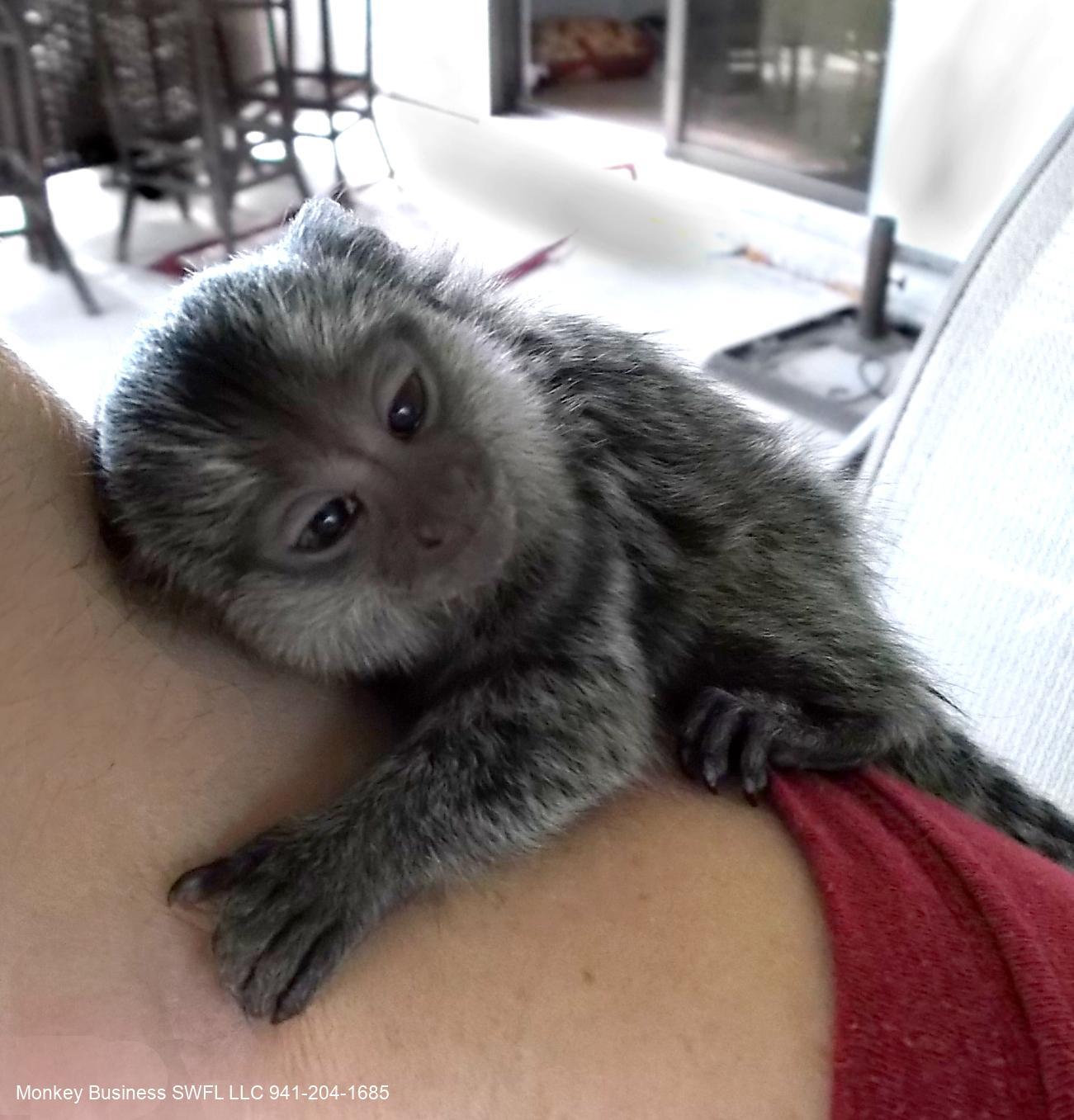 marmoset baby