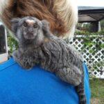 adolescent marmoset male