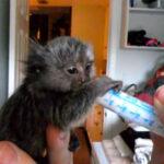 feeding a baby marmoset